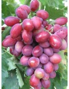 Pink varieties (pink, pink-yellow, red)