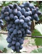 Variétés foncées (bleu marine, bleu, noir, violet, violet-rouge)