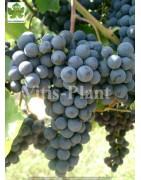 Varieties for red wines