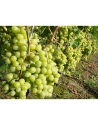 Grapevines grafted
