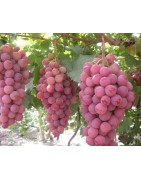 Table Grapes Resistant