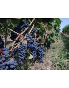 Sorte za pridelavo vina
