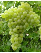 Table Grapes  with muscat flavour